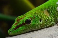 Madagascar daggecko royaltyfri fotografi