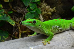 Madagascar daggecko arkivfoto