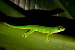 Madagascar daggecko Royaltyfri Foto