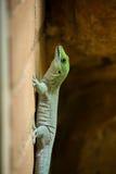 Madagascar daggecko (den Phelsuma madagascariensismadagascariensisen) Arkivfoto