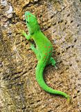 Madagascar day gecko. Green Madagascar day gecko on a palm tree Royalty Free Stock Photo