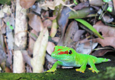 Madagascar day gecko. On a leaf Stock Images