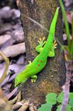 Madagascar day gecko. On the tree Stock Image