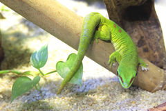 Madagascar Day Gecko. Climbing in the cage Royalty Free Stock Image