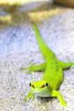 Madagascar Day Gecko. Climbing in the cage Stock Image