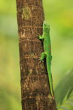 Madagascar day gecko. The Madagascar day gecko climbing on the tree Stock Photo