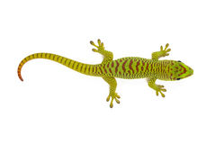 Madagascar Day Gecko. On white background Stock Images