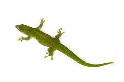 Madagascar Day Gecko. On white background Stock Photos