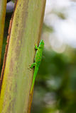 Madagascar day gecko. Close up view of Madagascar day gecko on the tree Stock Photography