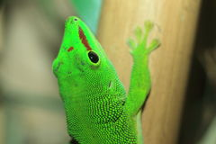 Madagascar day gecko. The detail of Madagascar day gecko Royalty Free Stock Photography