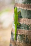 Madagascar day gecko. A little of Madagascar day gecko on a troco of a tree Royalty Free Stock Images
