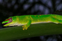 Madagascar day Gecko. A small lizard Stock Photography