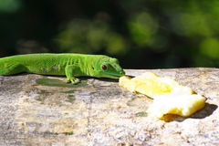 Madagascar day gecko. Phelsuma madagascariensis Royalty Free Stock Image