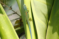 Madagascar day gecko (Phelsuma madagascariensis). Africa Royalty Free Stock Images