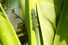 Madagascar day gecko (Phelsuma madagascariensis) Royalty Free Stock Photography