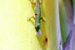 Madagascar day gecko (Phelsuma madagascariensis) Stock Photo