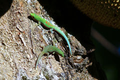 Madagascar day gecko (Phelsuma madagascariensis). Africa Stock Images