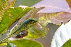 Madagascar day gecko (Phelsuma madagascariensis). Africa Royalty Free Stock Image