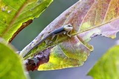Madagascar day gecko (Phelsuma madagascariensis) Royalty Free Stock Image