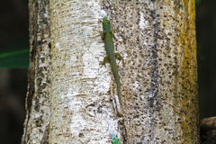 Madagascar day gecko (Phelsuma madagascariensis) female Stock Photo