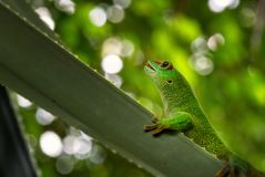Madagascar Day Gecko - Phelsuma madagascariensis. Madagascar forest. Cute endemic Madagascar lizard Royalty Free Stock Photography