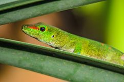 Madagascar Day Gecko - Phelsuma madagascariensis. Madagascar forest. Cute endemic Madagascar lizard Stock Photo