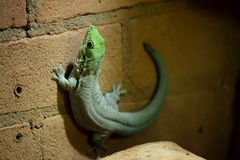 Madagascar day gecko (Phelsuma madagascariensis madagascariensis). On a brick wall Stock Photography