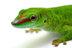 Madagascar day gecko. Portrait of a Madagascar day gecko Stock Photo