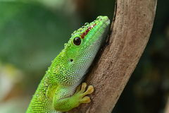 Madagascar Day Gecko Stock Photos