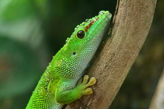 Madagascar Day Gecko royalty free stock photography