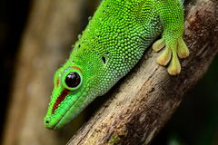 Madagascar Day Gecko Royalty Free Stock Photos