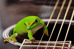 Madagascar day gecko. Sitting on a guitar Royalty Free Stock Photography