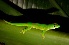 Madagascar day Gecko. A small lizard Royalty Free Stock Photo