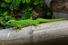Madagascar day Gecko Royalty Free Stock Photos