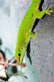 Madagascar day gecko. In the terrarium Stock Photography
