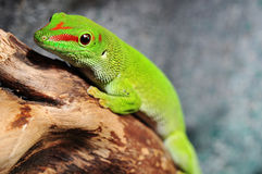 Madagascar day gecko. In the terrarium Royalty Free Stock Images