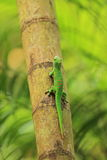 Madagascar day gecko. On the tree Royalty Free Stock Photography