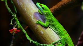 Madagascar day gecko stock video