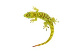 Madagascar Day Gecko Stock Photo
