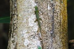 Madagascar dnia gekonu kobieta (Phelsuma madagascariensis) Zdjęcie Stock