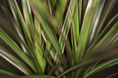 The Madagascar Dragon Tree. High resoultion photo of The Madagascar Dragon Tree aka Dracaena Marginata stock images