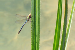 Madagascar dragonfly Stock Image