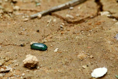 Madagascar emerald pill millipede (Sphaerotheriida) Stock Photography