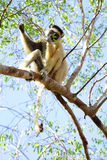 Madagascar. Endemic lemur golden-crowned sifaka, Propithecus tattersalli, eating leaves on the tree. Madagascar Royalty Free Stock Photo