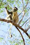 Madagascar. Endemic lemur golden-crowned sifaka, Propithecus tattersalli, eating leaves on the tree. Madagascar Royalty Free Stock Photo