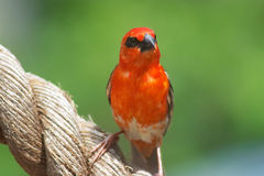 Madagascar fody. The male Red Cardinal or Madagascar Fody (Foudia madagascariensis), pictured in the Seychelles where it is common Royalty Free Stock Image