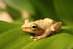 Madagascar frog Stock Photos
