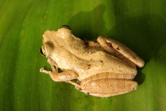Madagascar frog Royalty Free Stock Photography