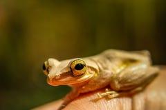 Madagascar frog Royalty Free Stock Photo