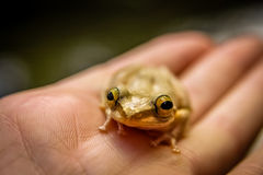 Madagascar frog Royalty Free Stock Images